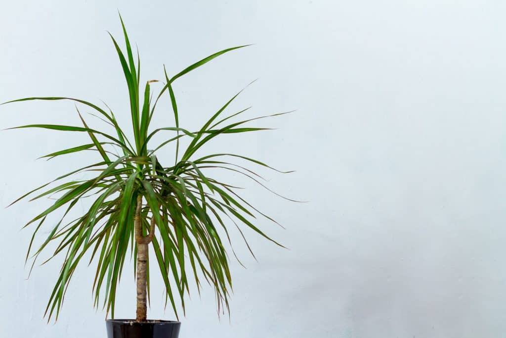A small dragon tree planted in a black pot inside a livng room