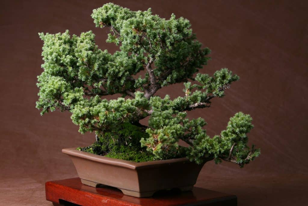 A small Juniper bonsai tree in a rectangular pot