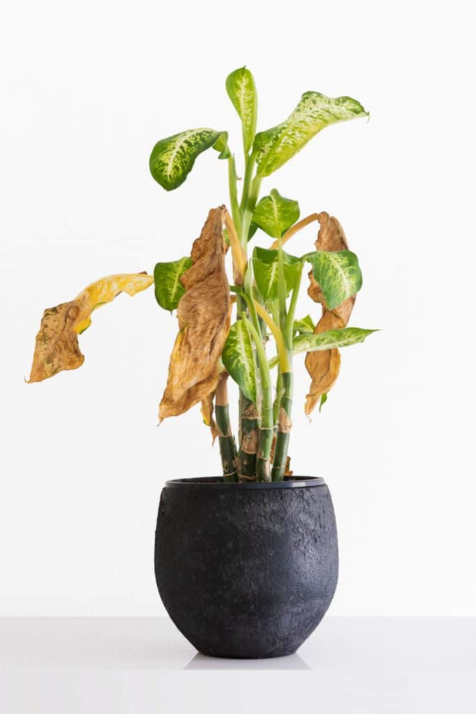 A tall Dieffenbachia camilla with withering yellow leaves plant with withering yellow leaves