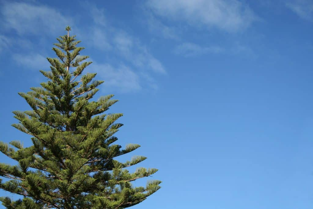 A tall Norfolk tree photographed on a sunny day