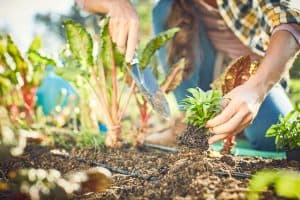 Read more about the article How To Grow Vegetables In Sandy Soil