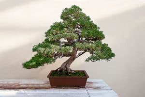 Read more about the article What's The Best Pot For Bonsai Trees? [Inc. 11 Perfect Examples]