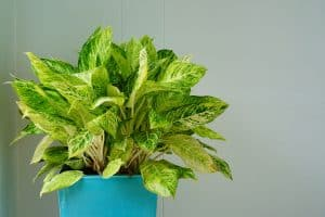 Read more about the article Why Is My Dieffenbachia Dying? (And What To Do About It)