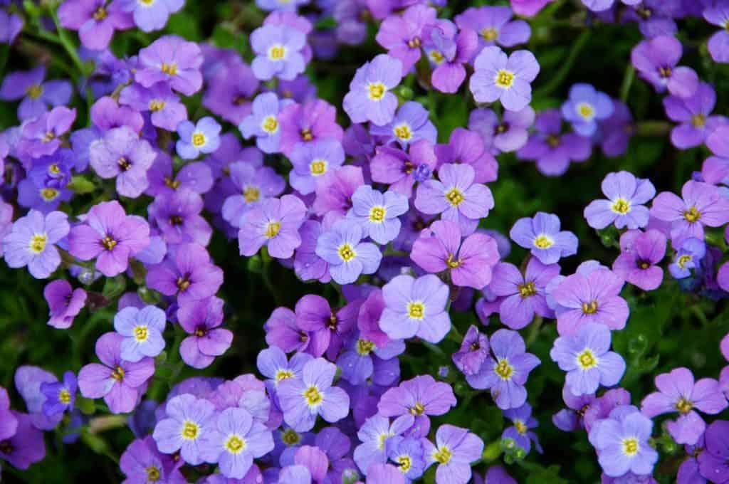 Aubrieta, tiny purple flowers, background