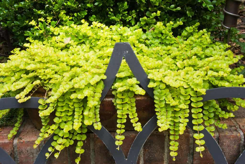 Creeping Jenny lysimachia aura trailing stem plant growing out of garden pots over a brick wall and onto a wrought iron patio chair.
