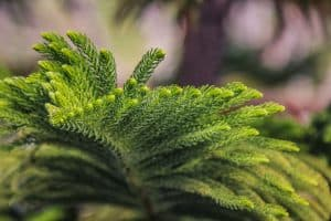 Detailed photo of a Norfolk Island trees leaves, Can You Plant A Norfolk Island Pine Outside?
