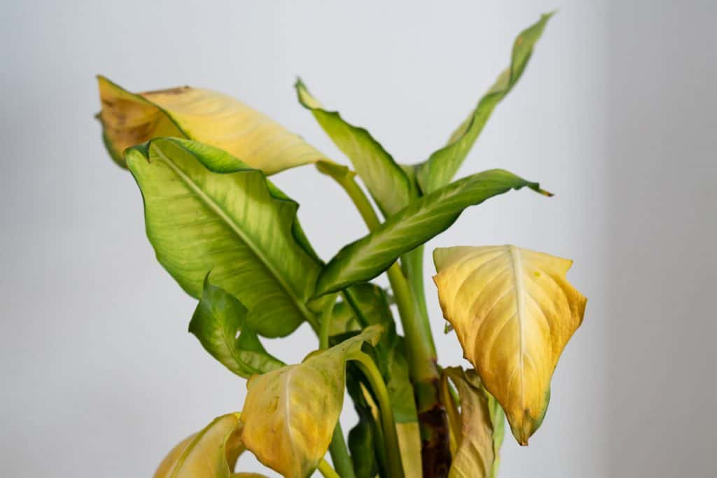 Dieffenbachia camilla with withering yellow leaves