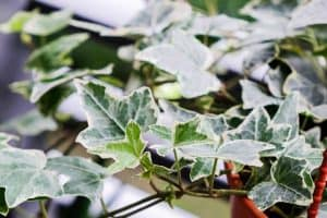 Read more about the article Why Is My English Ivy Dying? [And What To Do About It]