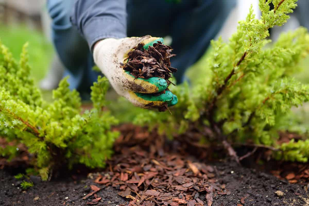 Gardener mulching with pine bark juniper plants in the yard. Seasonal works in the garden
