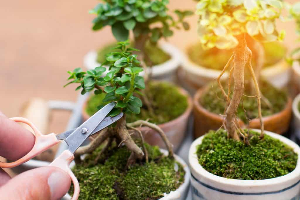Hand cropping a small bonsai tree in its pot