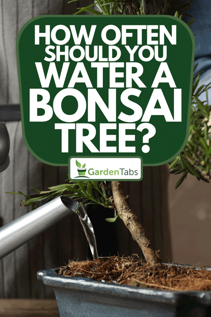 Watering Japanese bonsai plant, How Often Should You Water A Bonsai Tree?