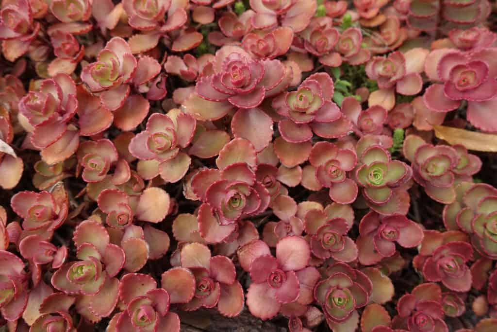 Pink fleshy leaves of Sedum spurium in August