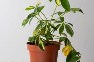 Read more about the article Why Is My Schefflera Losing Its Leaves?