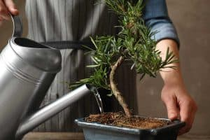 Read more about the article How Often Should You Water A Bonsai Tree?
