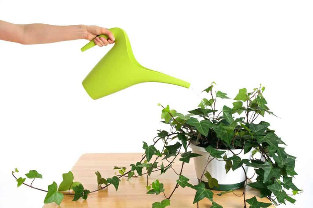 Watering beautiful green ivy in pot