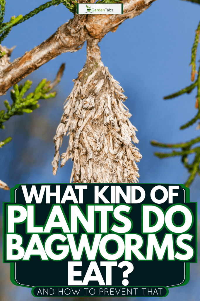 A bagworm on a branch of a pine tree, What Kind Of Plants Do Bagworms Eat? [And How To Prevent That]