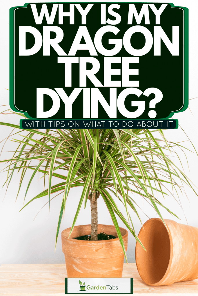 A beautiful and healthy Dragon tree planted on a small clay pot, Why Is My Dragon Tree Dying? [With Tips On What To Do About It]