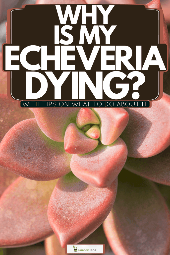 A bright blooming pink echeveria, Why Is My Echeveria Dying? [With Tips On What To Do About It]