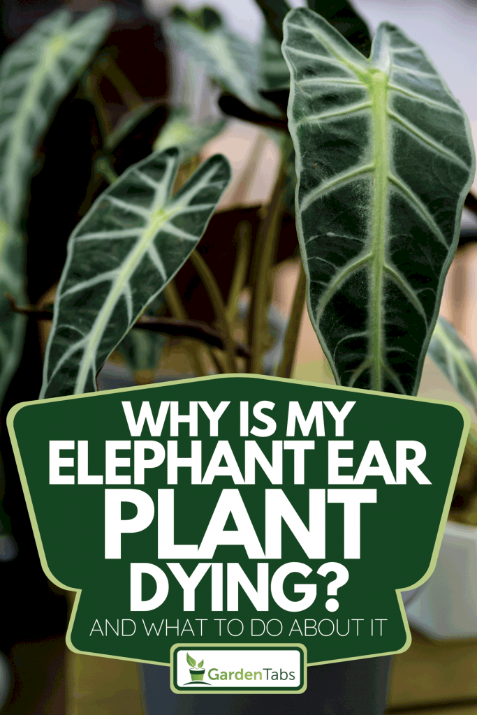 An elephant ear plant on the pot, Why Is My Elephant Ear Plant Dying? [And What To Do About It]