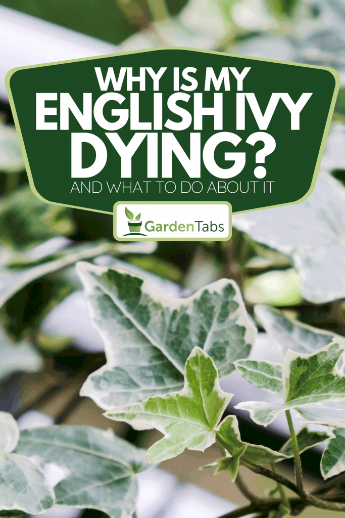 An English ivy in flower pot at balcony home, Why Is My English Ivy Dying? [And What To Do About It]