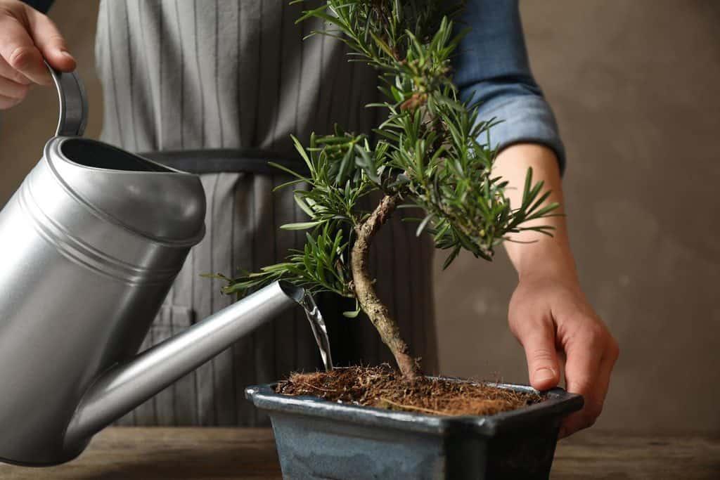 Woman watering Japanese bonsai plant
